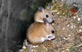 The Country Mouse and the Town Mouse
