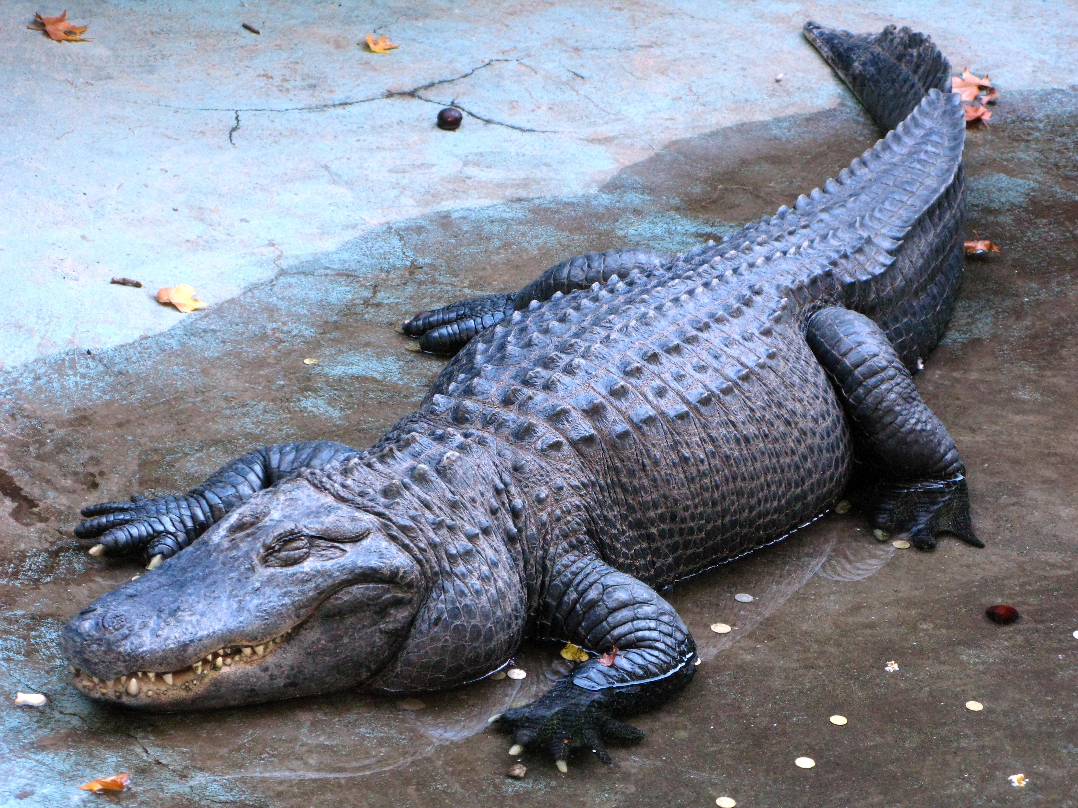 Ali the Alligator