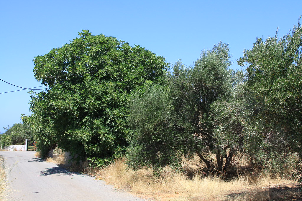 The Olive Tree and The Fig Tree