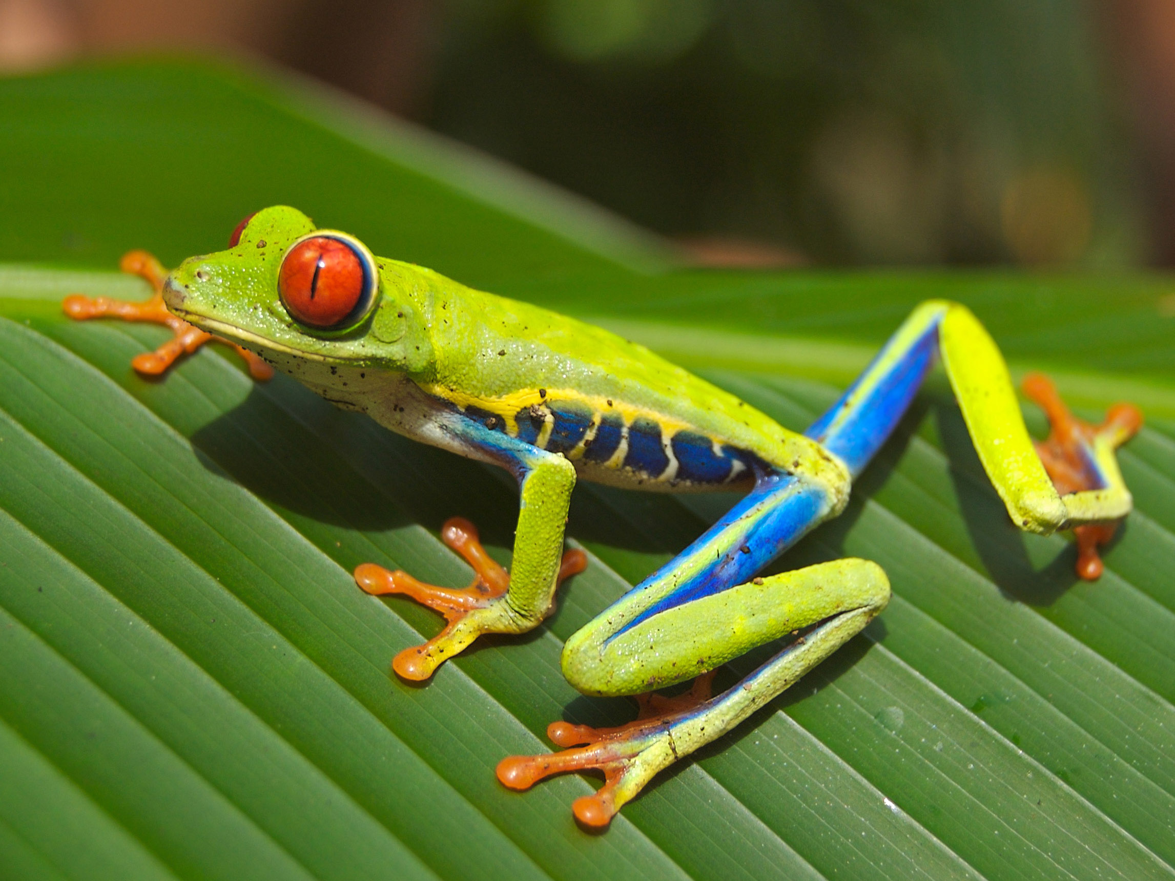 The Red-Eyed Tree Frog , Adapted