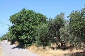 The Olive Tree and The Fig Tree, Adapted from Aesop's Fables