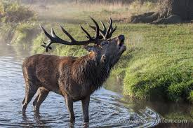 The Stag at the Pool