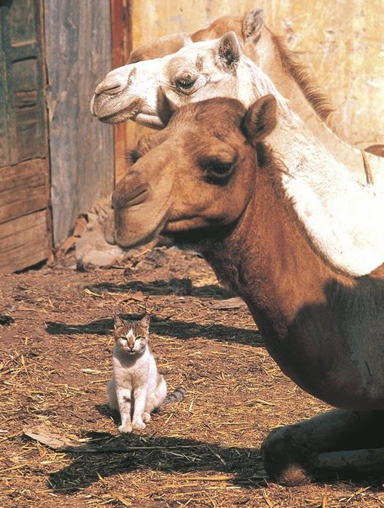 How the Camel got His Hump and PLATO: THE STORY OF A CAT